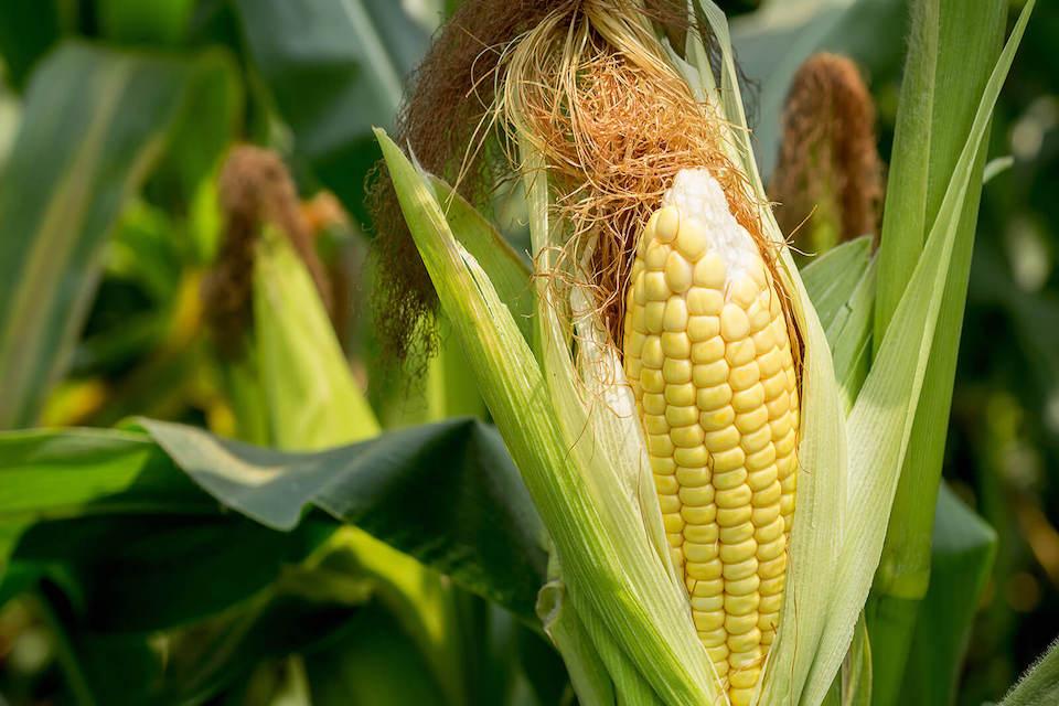 Производство семян кукурузы Беларусь